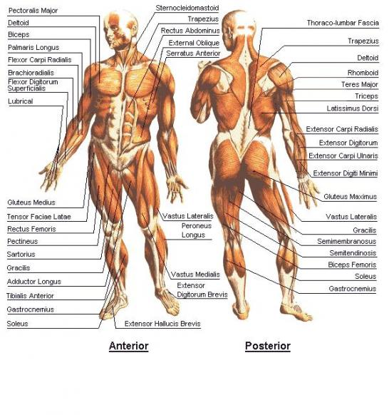 human body, Muscles