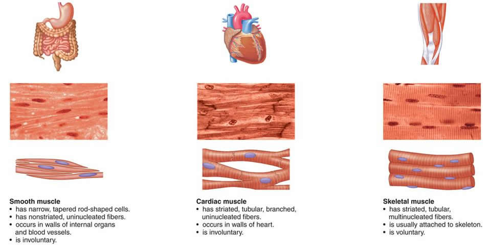Three Types of Muscle Tissue 3 Types of Muscle Tissue